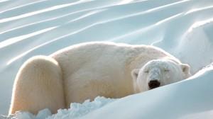 Ours polaire sur oreiller rafraichissant