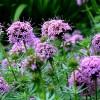 La valériane, plante du sommeil naturel